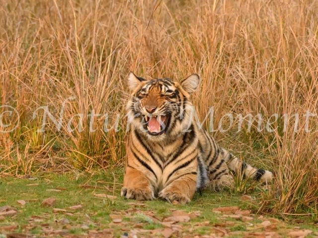 Bengal Tiger - Its a Hard Life