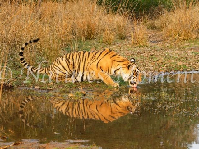 Bengal Tiger - Evening Drink