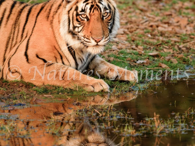Bengal Tiger - Resting by the Water