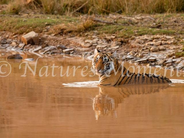 Bengal Tiger - Afternoon Dip