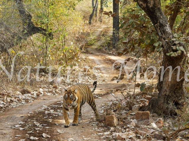 Bengal Tiger - Road Walk in the Forest