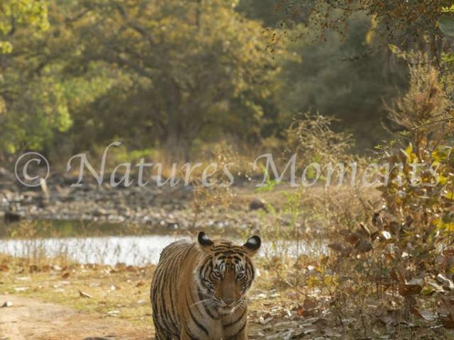 Bengal Tiger - Tiger Trail