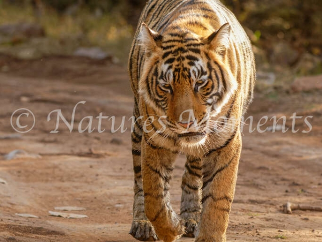 Bengal Tiger - Lazy Swagger
