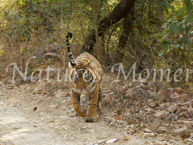 Bengal Tiger - Onto the Road
