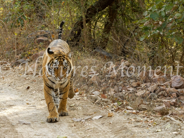 Bengal Tiger - Crossing the Road