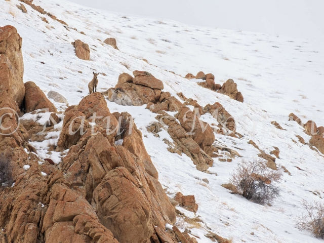 Ibex - On the Lookout