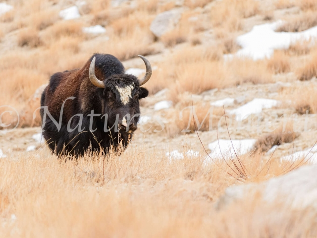 Yak - Grazing in the Mountains