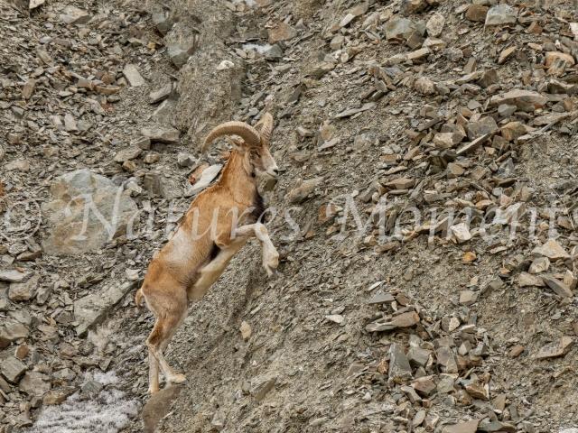 Asiatic Ibex - Precarious Journey